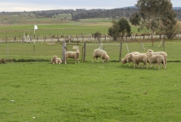 Sheep grazing near a square green at Ratho Golf Course, Bothwell