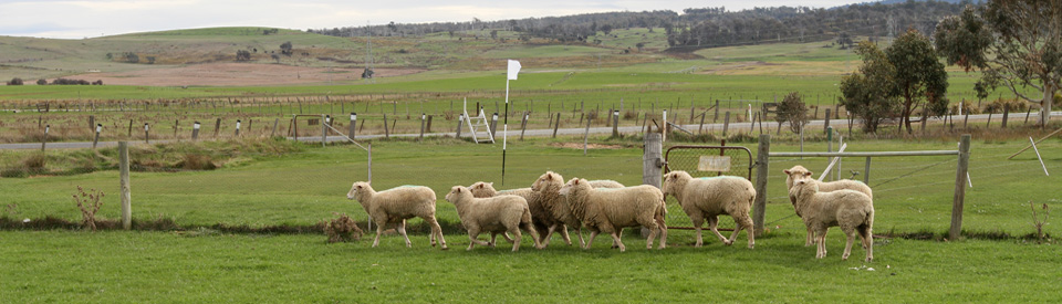 Putting greens and fairways maintained by grazing sheep